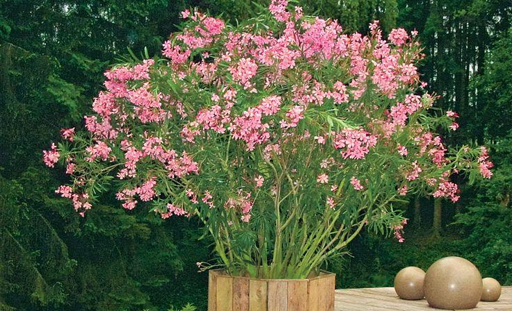 Oleander ist zwar robust – doch beim Überwintern im Garten musst du der Pflanze helfen. Wir erklären, wie.