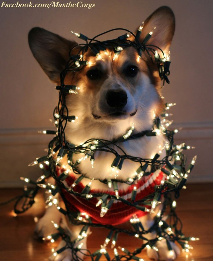 191 best dogs wrapped in christmas light