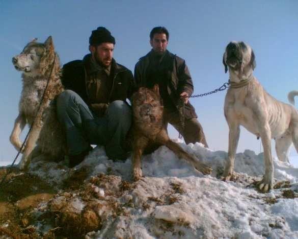 Berger d'Anatolie - L'avis du vétérinaire - Choisir son chien