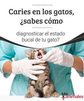 Caries en los gatos, ¿sabes cómo diagnosticar el estado bucal de tu gato? Las caries en los gatos son una patología infrecuente. Lo que suelen padecer los mininos es la denominada lesión reabsortiva odontoclástica o falsas caries. #caries #felinos #salud #prevenir