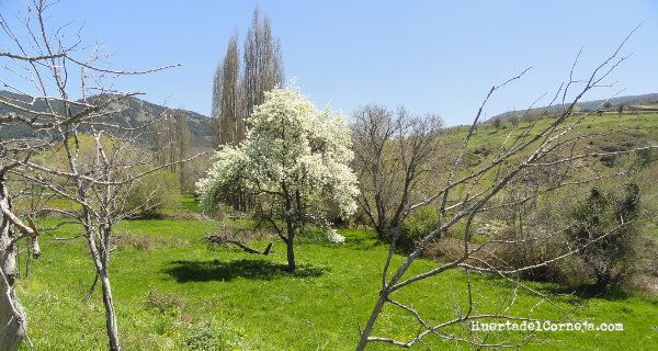 Peral en prado de Villafranca de la Sierra