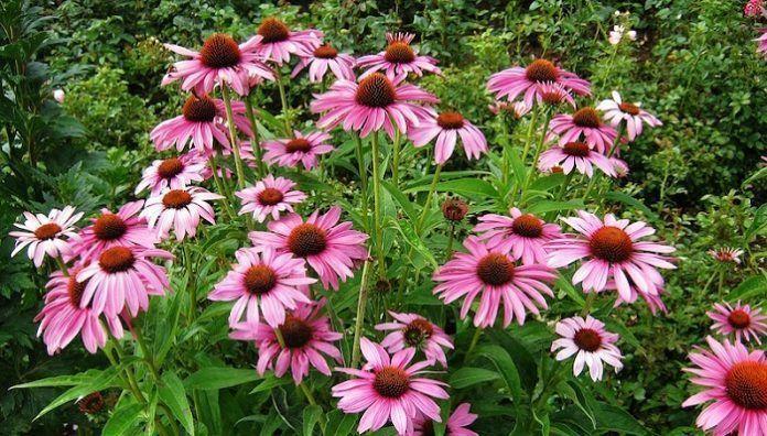 Echinacea Properties And Benefits Uses Echinacea Benefits Echinacea Pro In 2020 Echinacea Benefits Echinacea Echinacea Purpurea
