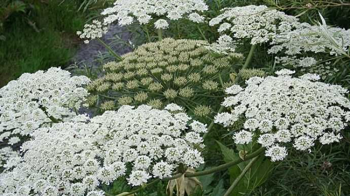 Officials in Canada and the U.S. are warning residents not to touch giant hogweed plants, which have been popping up in large numbers in both countries. When combined with sunlight, sap from the plants can cause extreme skin irritation, temporary or permanent blindness and scarring.