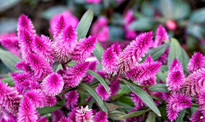 Amazon Com Seeds Rare Celosia Spicata Flamingo Feather Purple Pink Fuschia Flowers Seed 20 Seeds Garden Outdoor Outdoor Gardens Plants Garden