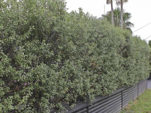 Pittosporum Tenuifolium Silver Sheen 1 Plants
