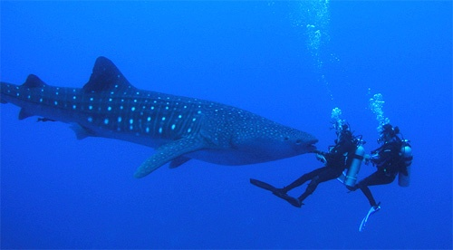 Whale shark. I really want to do this one day. Beautiful!