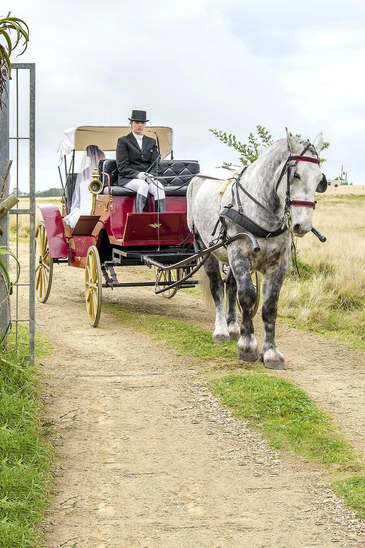 Gentle Troy making his #wedding #carriage debut
