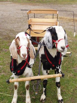 I like the Idea of training the goats to help haul things around the homestead when I need a few helping hands, rather hooves XD