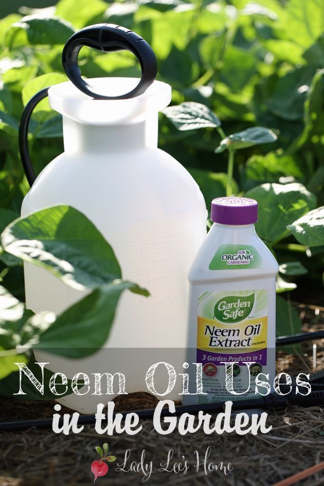 Neem oil uses in the garden. Here is how to use neem oil to protect your garden plants from pests, fungi, and mites. #LadyLee'sHome