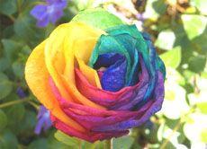 Experiment: Zweifarbige Nelken - Blumen färben   Helles Köpfchen