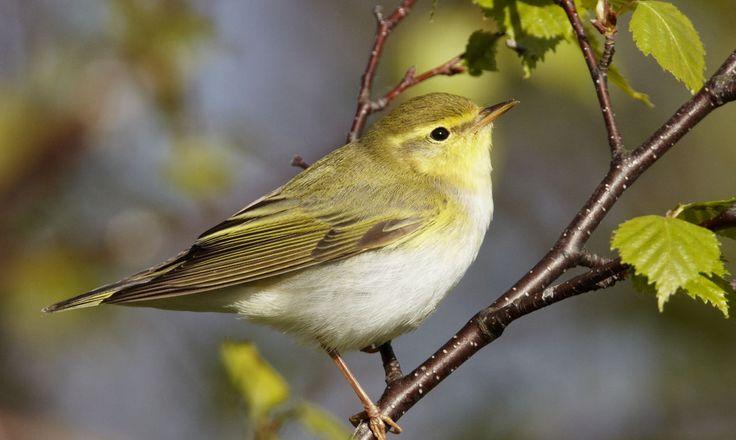 Fluiter | Vogelbescherming.nl