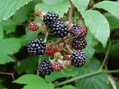 Blackberry Vinegar Recipe