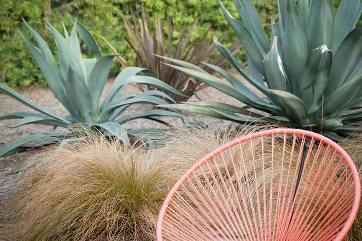 Drought-tolerant plants in Ms. Nilsen's yard include, from foreground to background, Orange Sedge, Agave weberi, Dark delight and a Podocarpus gracilior hedge.