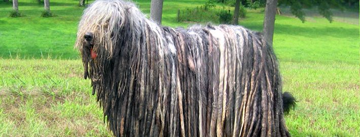 EVERYTHING YOU NEED TO KNOW ABOUT THE DOG WITH DREADS: BERGAMASCO SHEPERD