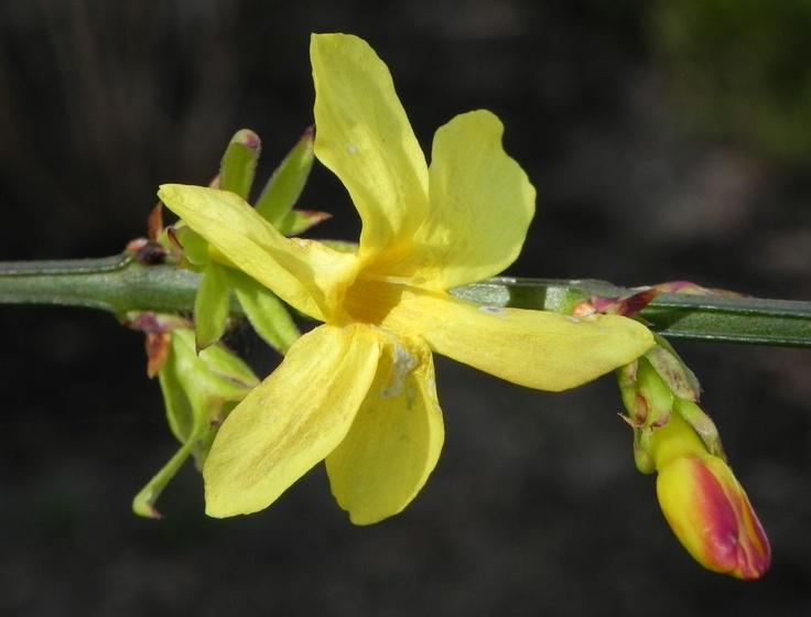 Winter Jasmin Strauch Blüte gelb Jasminum Nudiflorum