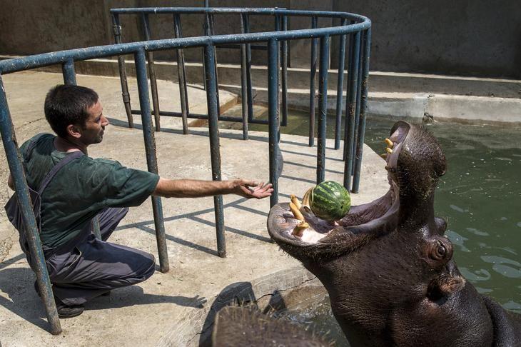 Бегемоты могут поглощать арбузы целиком, как орехи