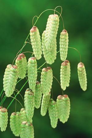 Briza maxima - Greater quaking grass
