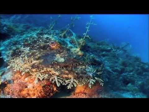 Seeteufel - Diveinside Biologie Tauchen Diving