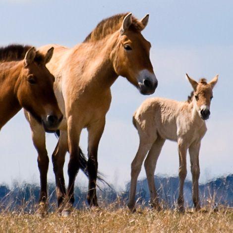Asian Wild Horse foals