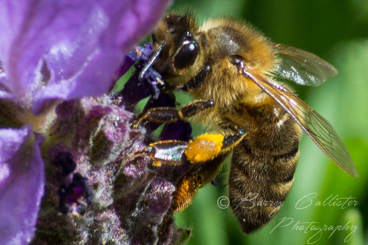 Bees fascinate me and I love them when they have collected pollen.