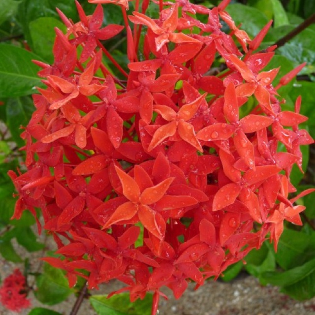 The National flower of Suriname is the 'fajalobi' (passionate love) or ixora, which is mainly grown in the coastal plains in gardens. Suriname's rainforests are home to several orchid species. As they mostly grow high in trees, their beauty can seldom be seen, however. Other flowers, such as the heliconia and the passionflower, can be seen when they bloom.
