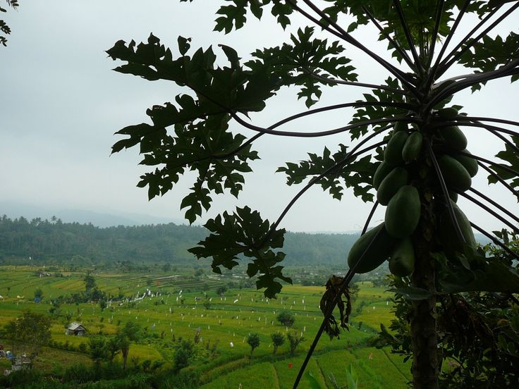 Authentic recipes with papaya. Photo: papaya tree above rice fields in Bali, Indonesia (source: my personnal food and travel blog / vlog with recipes, authentic video recipes, street food, food and travel documentary, travel info and more. Welcome! :) )