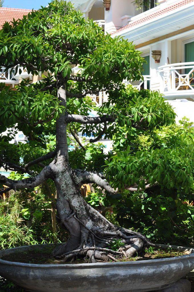 Bonsai Bonsai Tree Planted Aquarium Juniper Bonsai