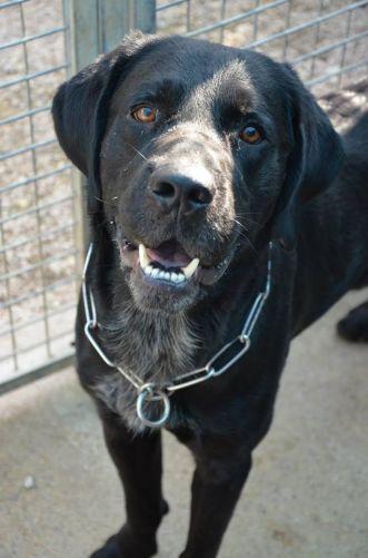 ECLAIR   Type : Labrador Sexe : Mâle Age : Adulte Couleur : Noir  Taille : Grand Lieu : Lot - 46 (Midi-Pyrénées)  Refuge :  MASAQ(Lot)  Tél : 06 46 38 19 45
