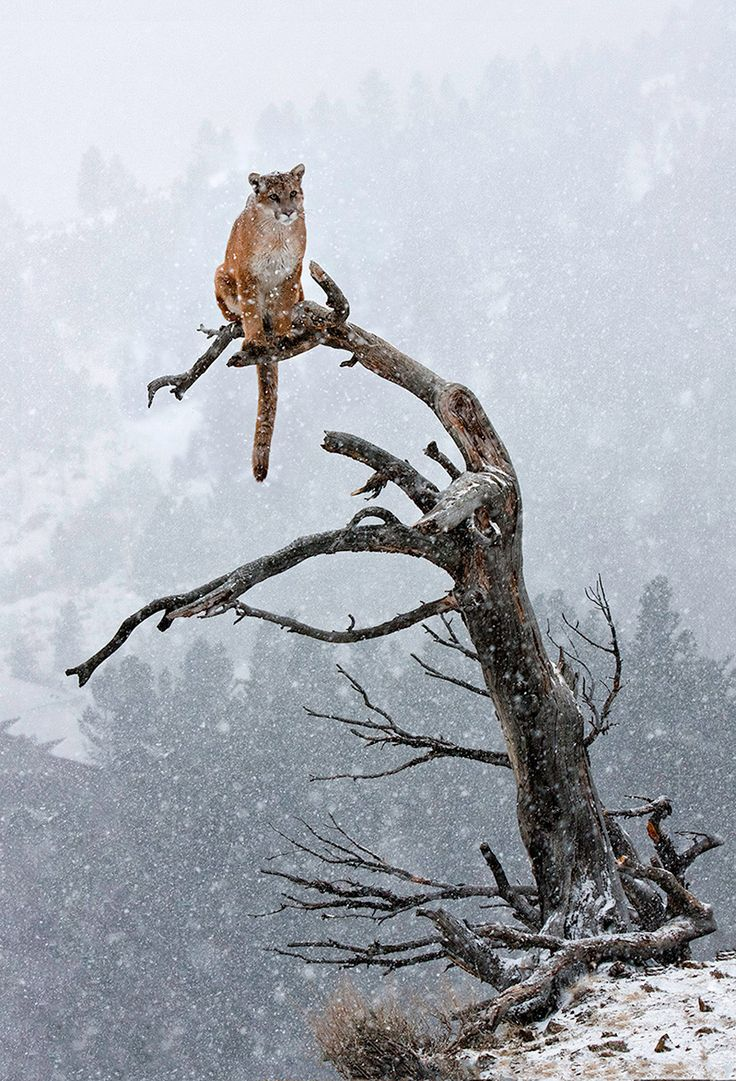 """Cougar (Mountain Lion) sitting atop a small tree during a winter storm 