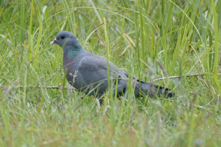 Stock dove - Pigeon colombin - Columba oenas