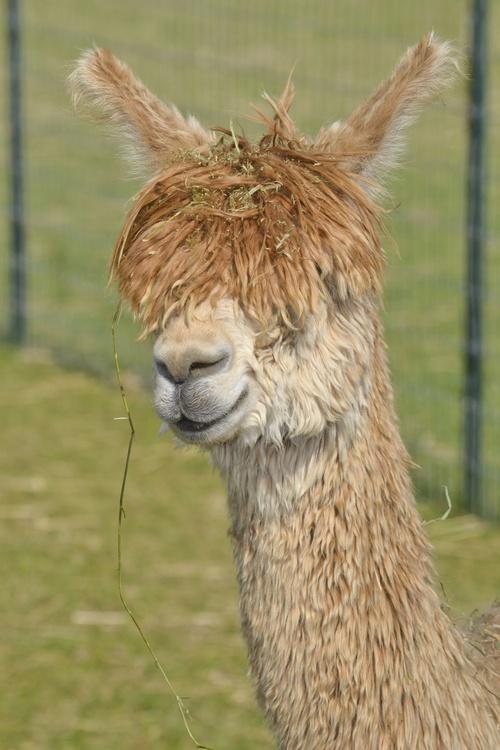 Alpacas For Sale: Accoyo America Regina: Suri, Female: Indiana, WEST HARRISON