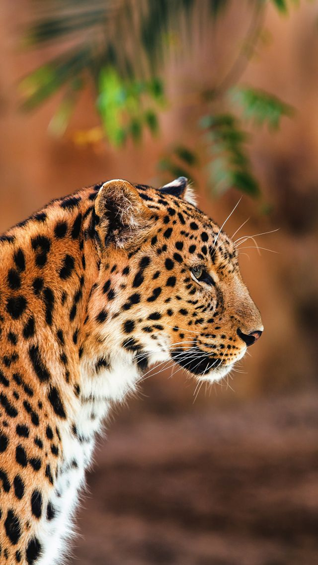 Leopard. Collection Of Wild Life Animals Wallpapers For