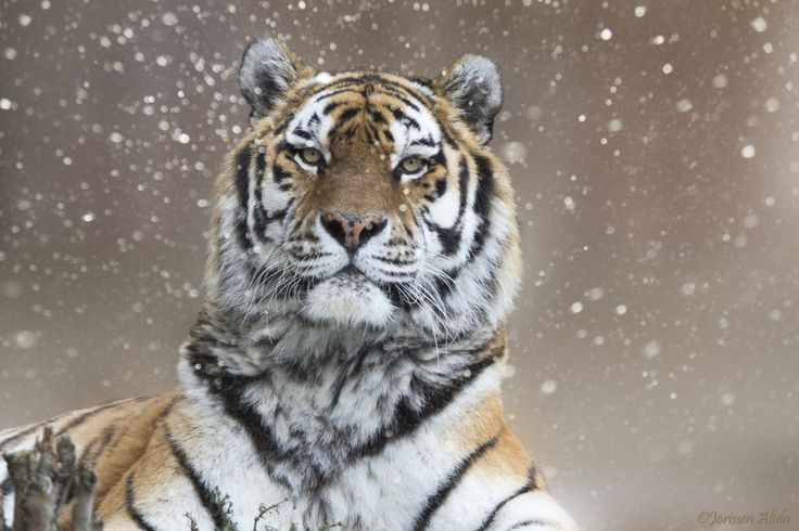 """The Siberian tiger is the largest living cat in the world.  """"Chill Out"""" by Alida Jorissen"""