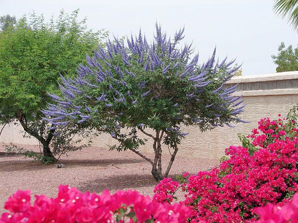 Chaste Tree, Vitex agnus - castus. Also Called: Monk's Pepper, Vitex, Chasteberry, Abraham's Balm. Xeriscape Landscaping Plants For The Arizona Desert Environment. Pictures, Photos, Information, Descriptions, Images, & Reviews. Trees.