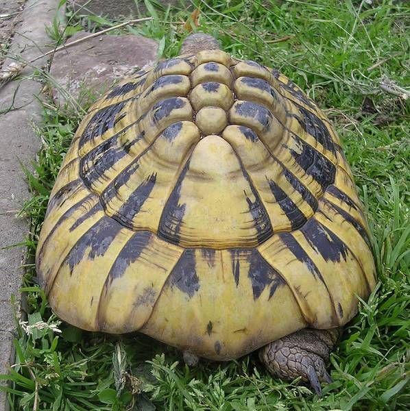 Die Griechische Landschildkröte auf dem Bild oben wurde Ende der 60-er Jahre als etwa handtellergroßes Schildkrötenkind ihrem natürlichen Lebensraum entnommen und in einem norddeutschen Zooladen angeboten. Die folgenden 20 Jahre verbrachte Amanda hauptsächlich in der Wohnung bei gut gemeinter Salat- und Obstfütterung, aber ohne das lebensnotwendige Sonnenlicht.