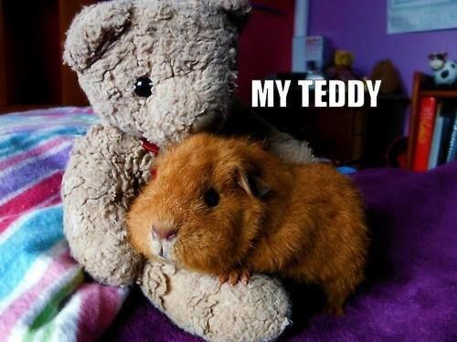 Piggy is protective over his Teddy...☺☺☺  The Best Guinea Pig Food Delivered Fresh to your door!  Click  ❤ http://shop.smallpetselect.com/ ❤   FbookFriends: Use code ✔softNgreen✔ For Free Shipping  http://www.pinterest.com/pin/188869778096511905/