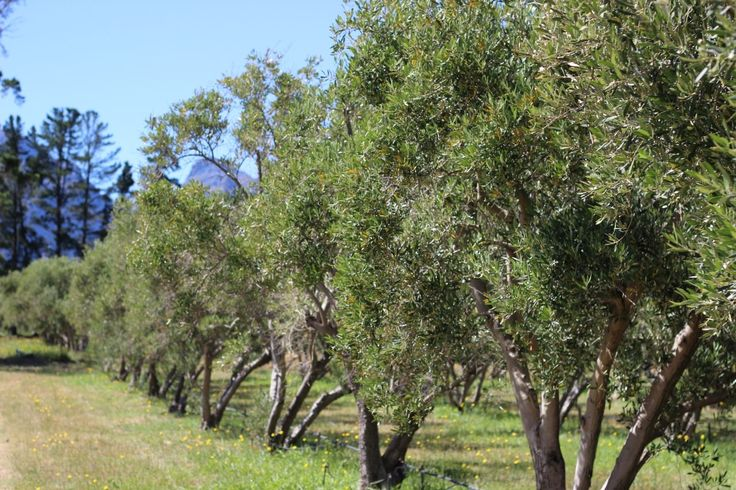 Which Olive Cultivars are commercially grown in South Africa? Read this post to find out. www.facebook.com/olivefactory