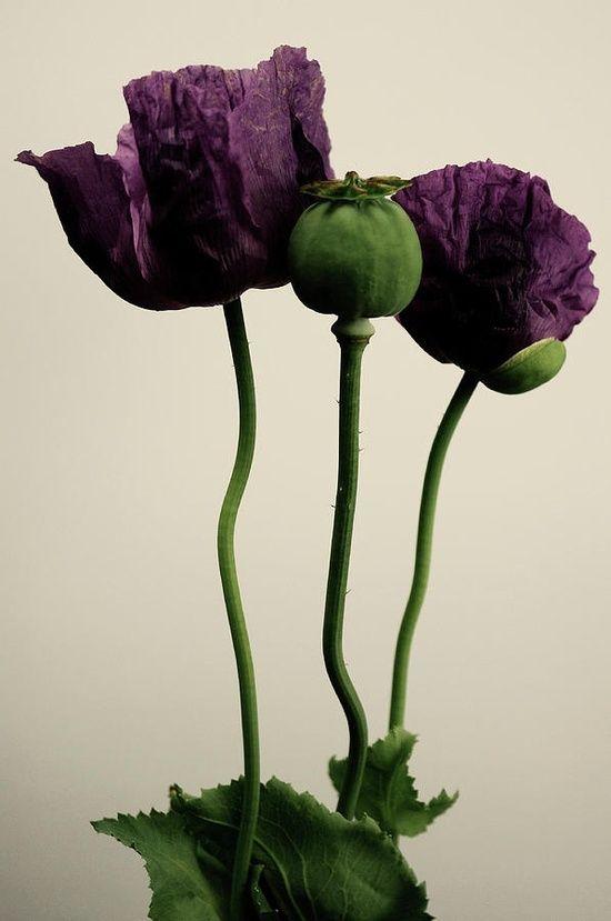 purple/mauve poppy                                                                                                                                                                                 More