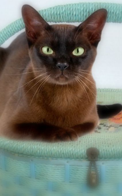 """[BURMESE] """" Amimals to own? Yoo stand corrected az no one 'owns' a cat."""""""