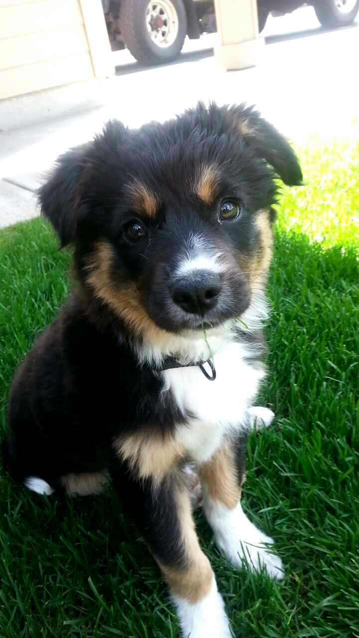 From reddit: So my brother just got a puppy! Border collie/German Shepard mix