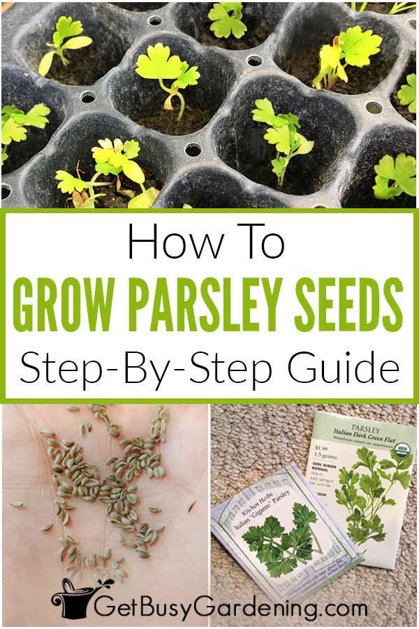 How To Grow Parsley From Seed Step By Step In 2020 Growing