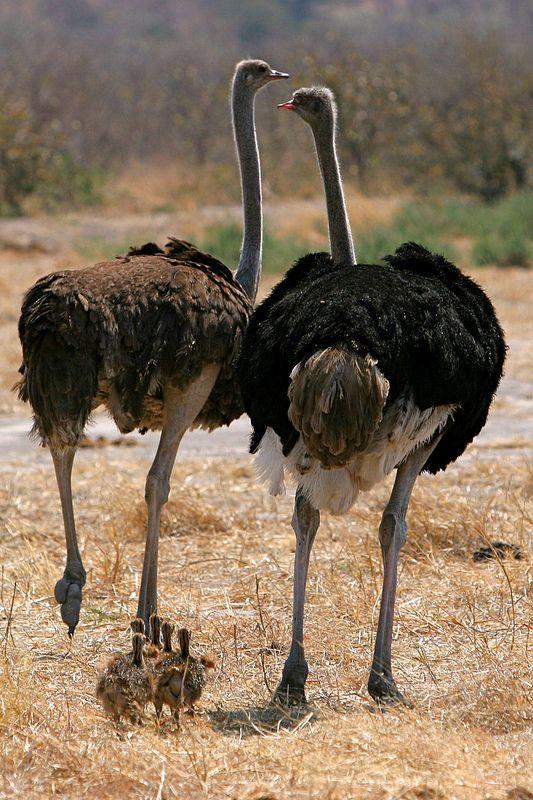 Ostrich Family | Fugle og Dyr