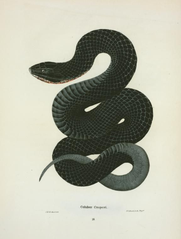 Coluber Couperi. 1842. From New York Public Library Digital Collections.