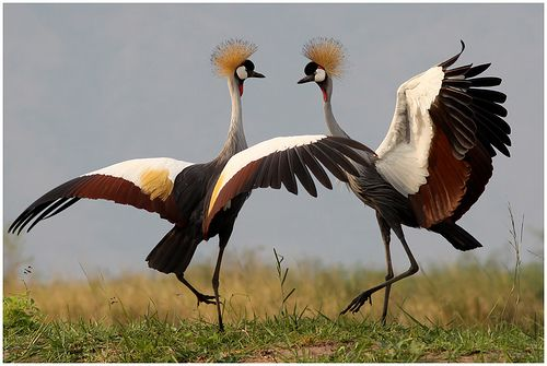 Grey Crowned Crane dance - Balearica regulorum at Ntoroko Semliki Valley, Lake Albert, Uganda - photo by Jan Rillich, via Flickr