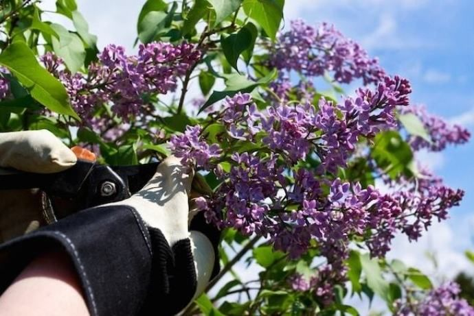 How To Care For A Dwarf Korean Lilac Tree Korean Lilac Tree Lilac Tree Dwarf Korean Lilac Tree