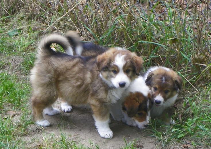 English Shepherd Puppies | Dog Breed Bucket List | Pinterest