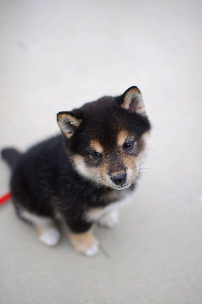 shibainu shiba puppy 柴犬 黒柴 i-photolog.tumblr.com: shibainu puppy via: i:note photoblog