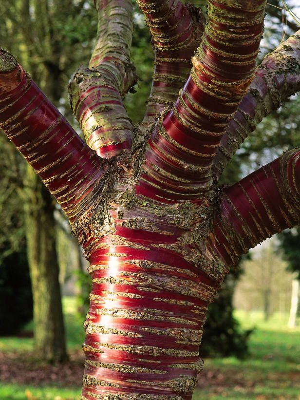 A paperbark cereja, ou cerejeira tibetana é conhecido por sua impressionante casca vermelho-mogno. Como a árvore envelhece, sua casca peals adicionando cor e textura.)
