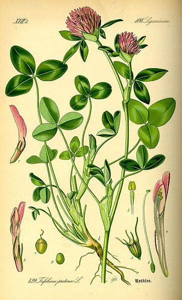 """Trifolium pratense - Botanical illustration from """"Flora von Deutschland, Österreich und der Schweiz"""", Prof. Dr. Otto Wilhelm Thomé, 1885, Gera, Germany"""