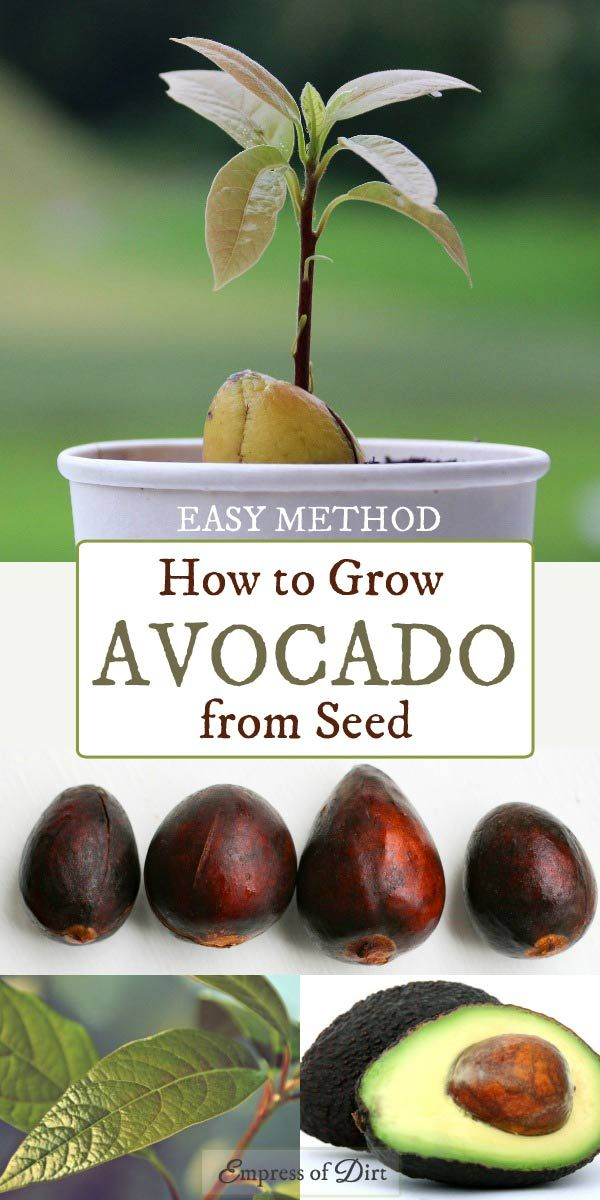 best 25 avocado tree ideas on pinterest growing avacado from seed avocado plant from seed. Black Bedroom Furniture Sets. Home Design Ideas